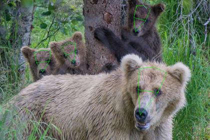 人工智慧辨識人臉、貓臉不稀奇!矽谷工程師開發熊臉辨識AI保育棕熊