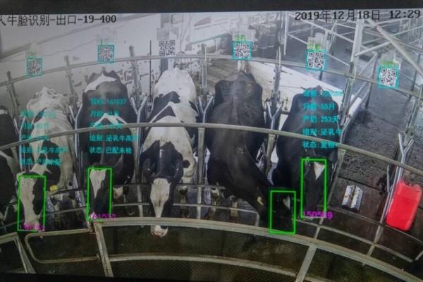 中國科技公司 Beijing Unitrace Tech 建立的「牛臉辨識系統」