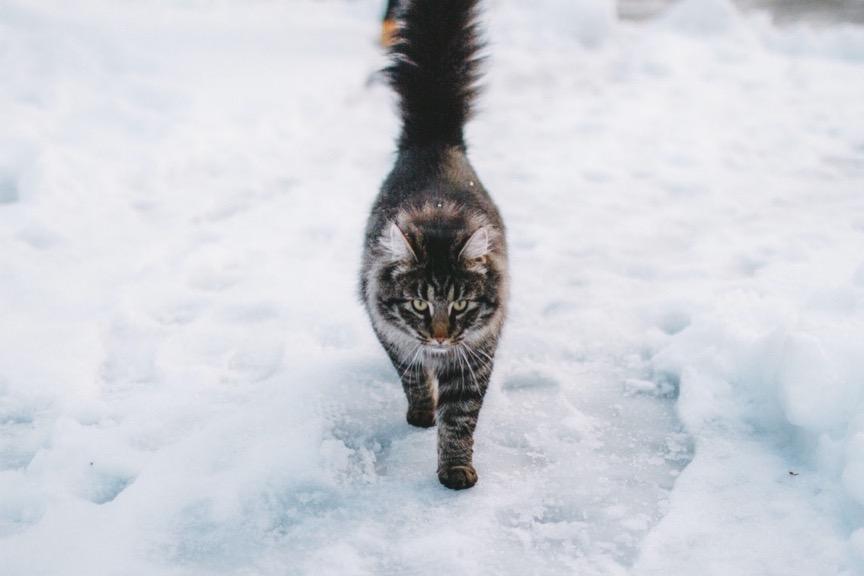 冰天雪地中的貓